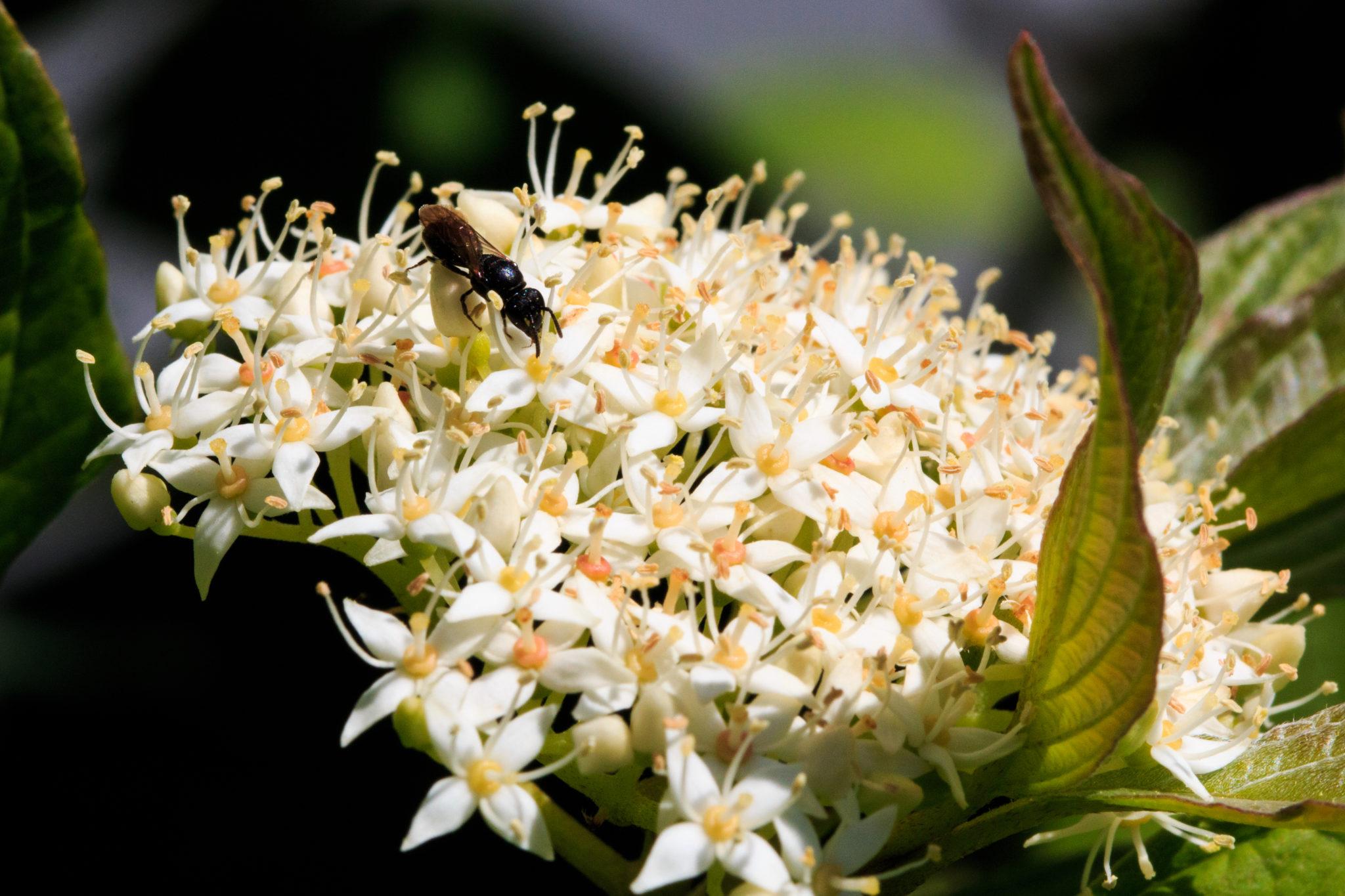 Flugameise auf Blüte