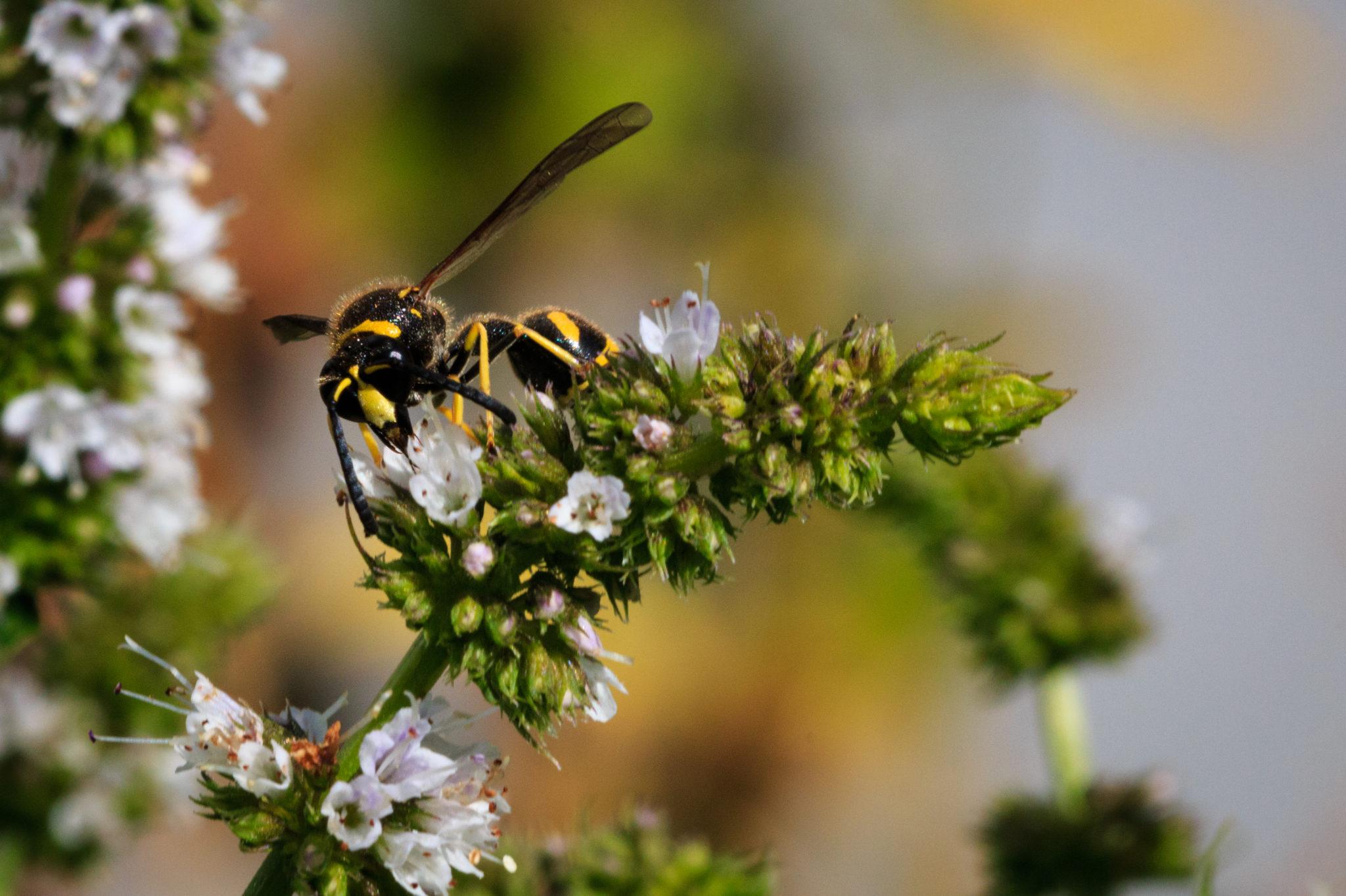 Wespe auf Blüte