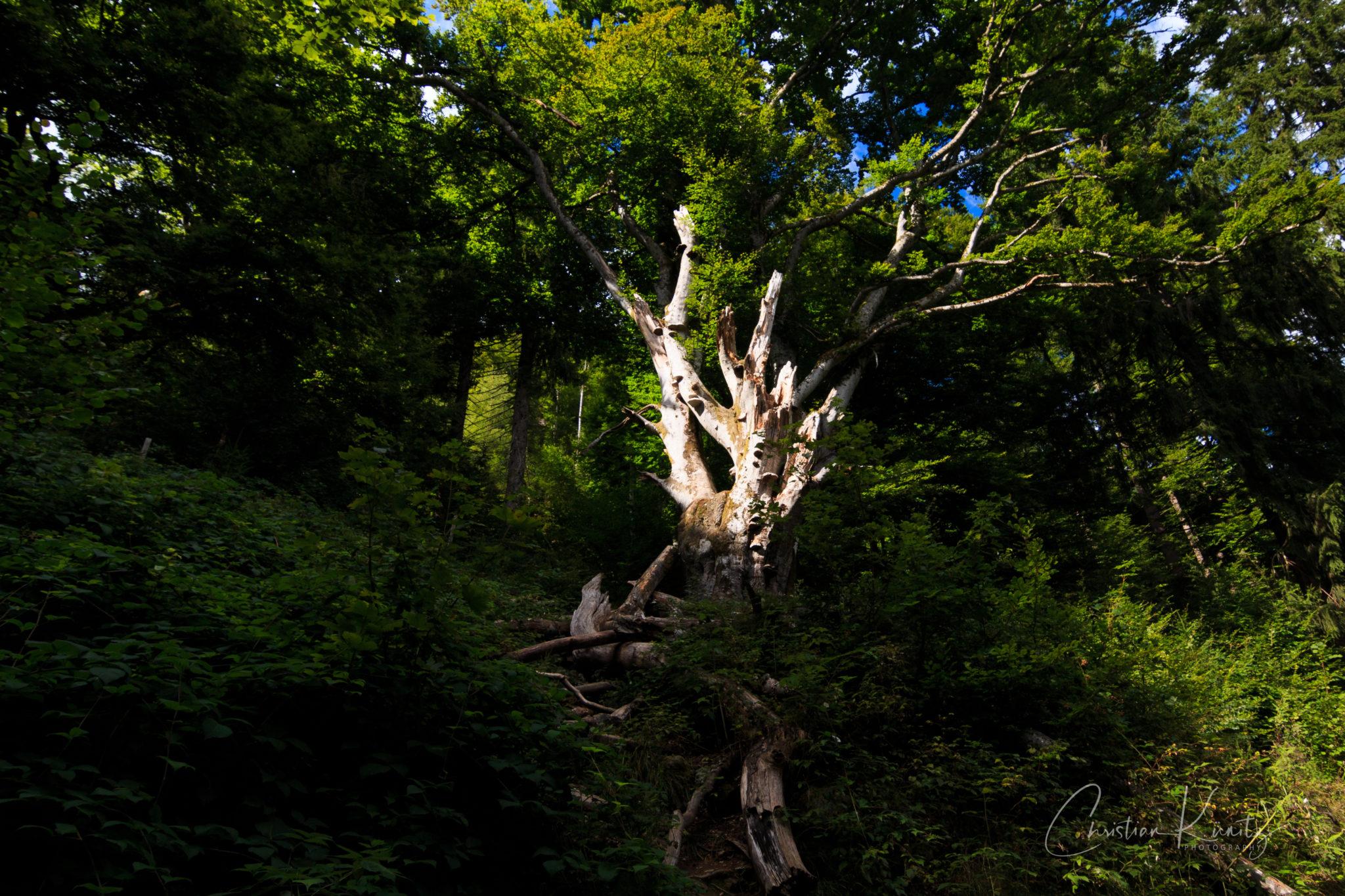 Baum bei den Todtnauer Wasserfällen